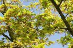 Листья дерева клена новые и бутоны цветка Стоковое Фото