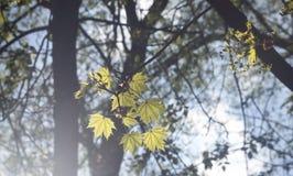 Листья дерева клена Стоковые Фото