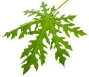 Листья дерева папапайи Стоковое Фото