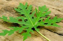 Листья дерева папапайи Стоковое фото RF