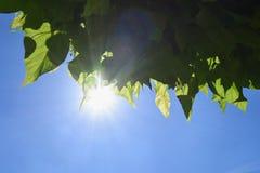 Листья дерева с голубым небом и солнечностью Стоковые Изображения RF
