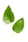 Листья дерева шелковицы Стоковые Фотографии RF