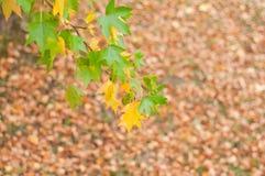 Листья детали, зеленого цвета и желтого цвета ветви дерева Liquidambar Стоковые Изображения