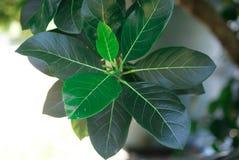 Листья джекфрута Стоковое Фото