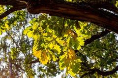 Листья желтого дуба освещенные по солнцу на заходе солнца стоковые изображения rf