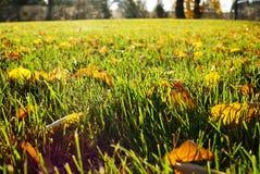 Листья желтого цвета в зеленой траве упаденные листья натиск осени стоковая фотография