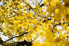 Листья желтого цвета в солнечном свете в лесе осени стоковые фотографии rf