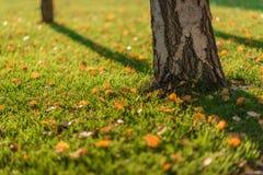 Листья желтого цвета березы Стоковое Изображение