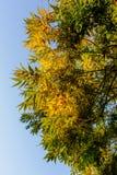 Листья желтого цвета в предыдущей осени Стоковая Фотография RF