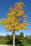 Листья желтого цвета дерева осени Стоковые Фотографии RF