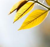 Листья желтого цвета дерева Стоковые Изображения RF