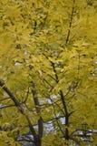 Листья желтого цвета дерева Стоковые Фото