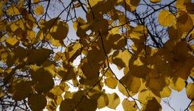 Листья желтого цвета липы против неба и backlight Предпосылка осени от листьев липы желтый цвет листьев осени Стоковое Изображение