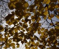 Листья желтого цвета липы против неба и backlight Предпосылка осени от листьев липы желтый цвет листьев осени Стоковое фото RF