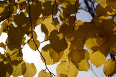 Листья желтого цвета липы против неба и backlight Предпосылка осени от листьев липы желтый цвет листьев осени Стоковые Фотографии RF