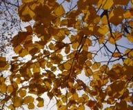 Листья желтого цвета липы против неба и backlight Предпосылка осени от листьев липы желтый цвет листьев осени Стоковые Фото