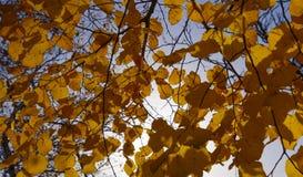 Листья желтого цвета липы против неба и backlight Предпосылка осени от листьев липы желтый цвет листьев осени Стоковые Изображения RF