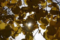 Листья желтого цвета липы против неба и backlight Предпосылка осени от листьев липы желтый цвет листьев осени Стоковая Фотография