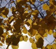 Листья желтого цвета липы против неба и backlight Предпосылка осени от листьев липы желтый цвет листьев осени Стоковое Фото