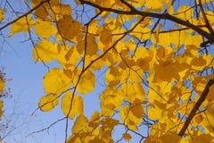 Листья желтого цвета липы против неба и backlight Предпосылка осени от листьев липы желтый цвет листьев осени Стоковое Изображение RF