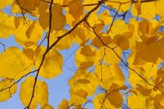 Листья желтого цвета липы против неба и backlight Предпосылка осени от листьев липы желтый цвет листьев осени Стоковая Фотография RF