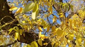 Листья желтого цвета на ветре видеоматериал
