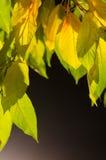 Листья желтого цвета на темной предпосылке Стоковое Изображение RF