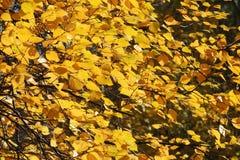 Листья желтого цвета осени и хворостины, сезоны: осень Стоковое Изображение