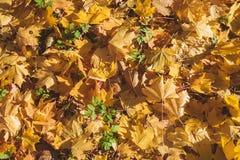 Листья желтого цвета осени на зеленой траве Стоковые Изображения RF