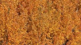Листья желтого цвета осины знобя на осени ветра видеоматериал
