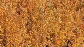 Листья желтого цвета осины знобя на осени ветра сток-видео