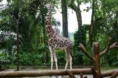 Листья жирафа обгрызая от деревьев Стоковое Фото