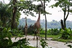 Листья жирафа обгрызая от деревьев Стоковые Фотографии RF