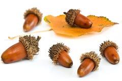 листья жолудей Стоковое Изображение