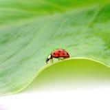 листья жука зеленые Стоковая Фотография RF