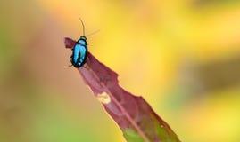 листья жука ольшаника Стоковые Фотографии RF