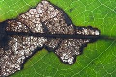 листья заболеванием Стоковые Фотографии RF