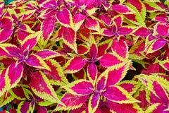 Листья завода coleus, scutellarioides красного цвета и зеленого цвета Plectranthus Стоковые Фото