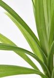 Листья завода Pandan Feash Стоковое Изображение RF