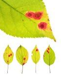 Листья зараженные ржавчиной вишни изолированной на белизне Стоковые Изображения RF