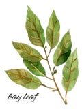 Листья залива, иллюстрация акварели Стоковое фото RF