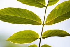листья задней части Стоковые Изображения RF
