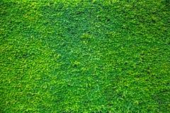 Листья зеленого растения на стене Стоковые Фотографии RF