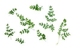 Листья зеленого растения Стоковое Изображение RF