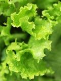 Листья зеленого салата Стоковые Изображения RF