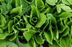 листья зеленого цвета Листья Буша Стоковая Фотография RF