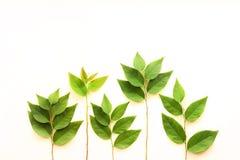 листья зеленого цвета ветви Стоковые Фотографии RF