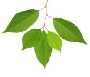 Листья зеленого цвета вишневого дерева изолированные на белизне Стоковые Изображения