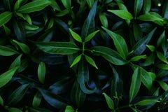 Листья зеленого цвета в темной предпосылке тона Стоковое Фото