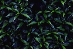 Листья зеленого цвета в темной предпосылке тона Стоковая Фотография RF